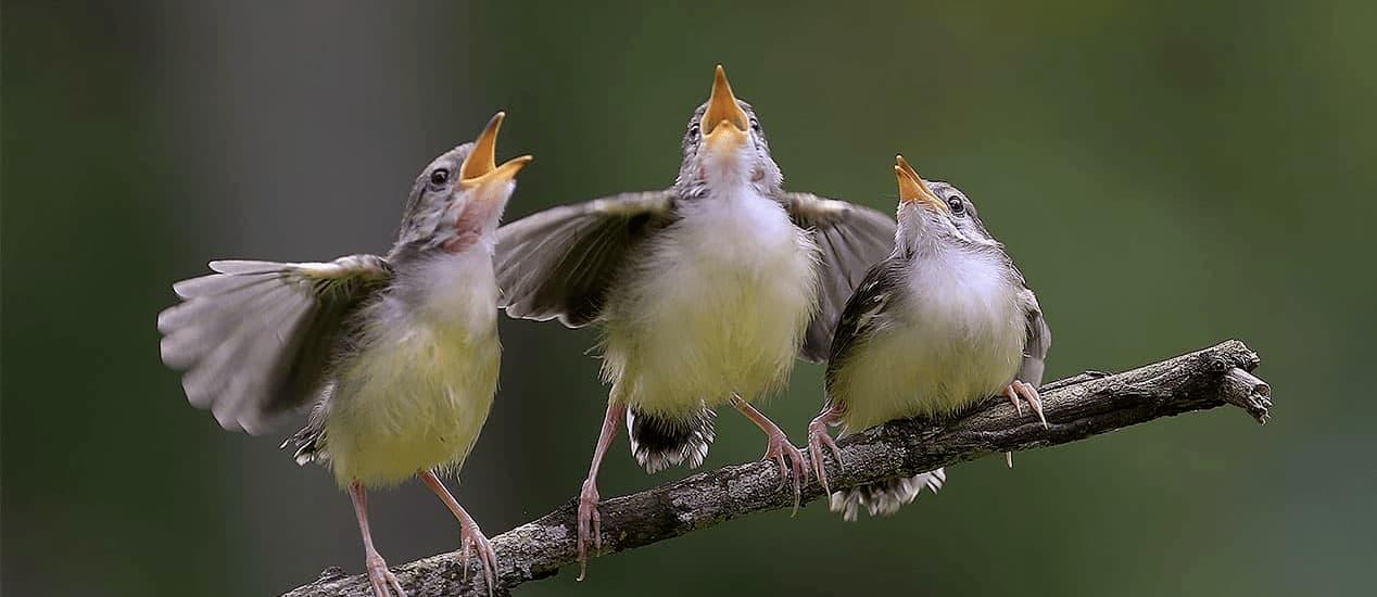Zwitschernde Vögel auf Ast