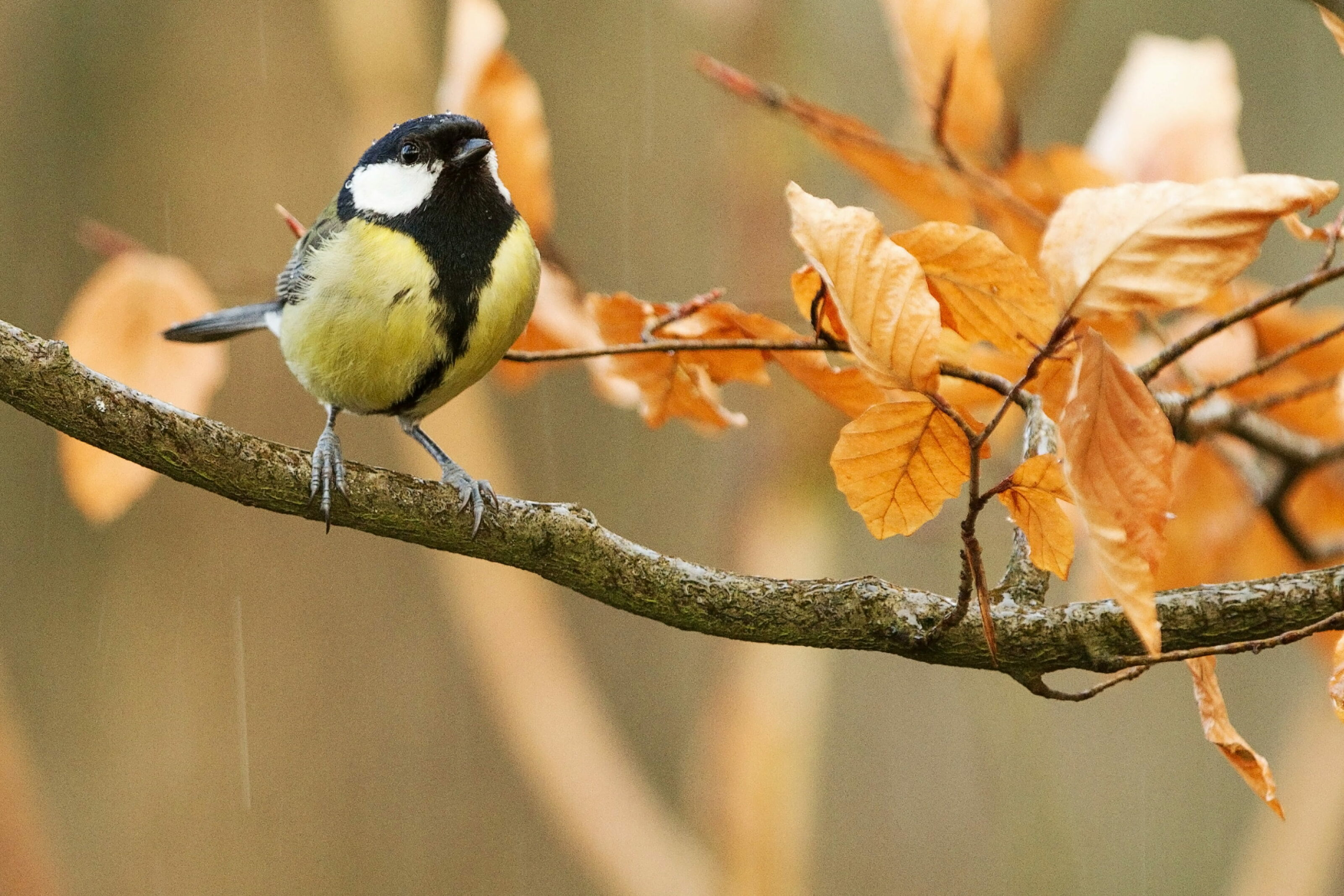 Kohlmeise | 10 Wintervögel, die uns jede Saison im Garten besuchen