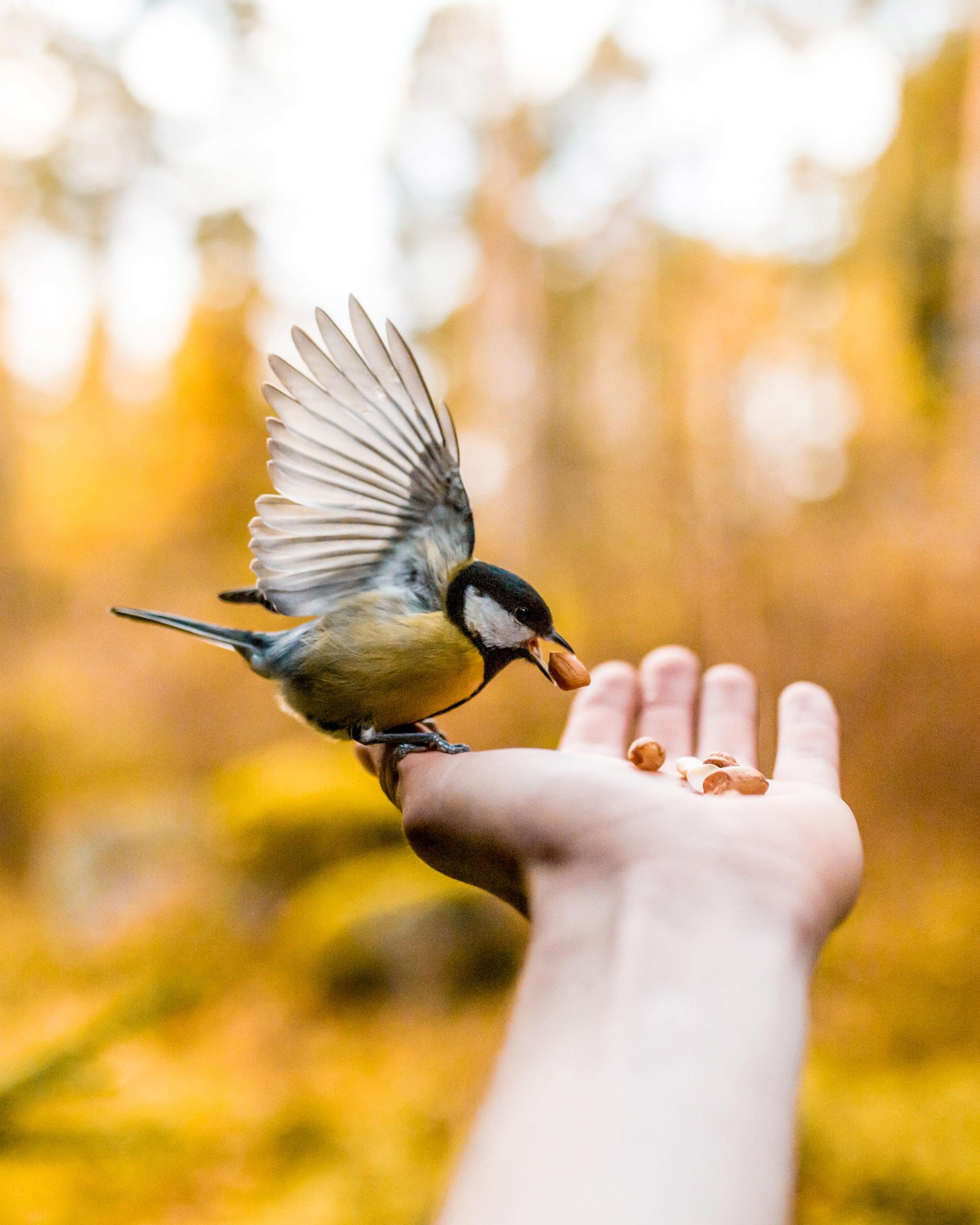 Kohlmeise | Wintervögel im Garten