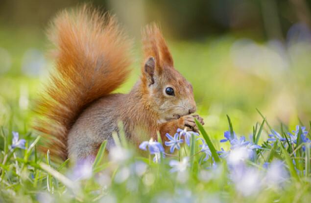 Eichhörnchen auf Blumenwiesen